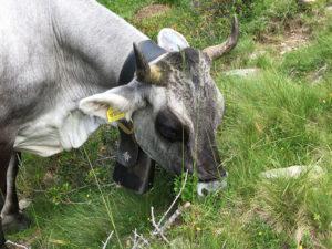 Kühe Passeiertal